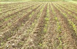 Zielony kukurydzany pole w wiośnie Obrazy Stock