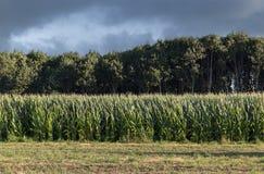 Zielony kukurydzany pole z drzewami przy burzowym niebem i plecy obrazy stock
