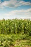 Zielony kukurydzy pole Fotografia Stock