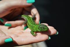 Zielony lacertian na dziewczyny ` s palmie lub jaszczurka Zdjęcie Stock