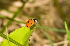 zielony ladybird liści, Obrazy Stock