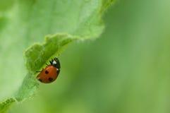 zielony ladybird urlopu Zdjęcie Royalty Free
