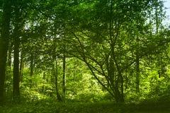 Zielony las Fotografia Stock