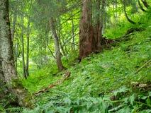 Zielony las w alpin górze w Szwajcaria Fotografia Royalty Free