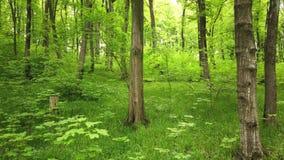Zielony las z drzewami i słońca światłem iść przez liści zbiory