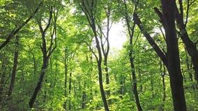 Zielony las z drzewami i słońca światłem iść przez liści zbiory wideo
