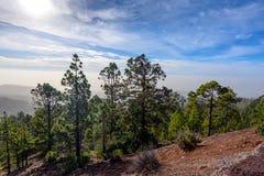 Zielony las z Jedlinowymi drzewami na górach na Tenerife wyspie, Hiszpania fotografia stock