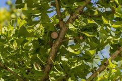 Zielony leczniczy ulistnienia ginkgo Ginkgo biloba z swój owoc Naturalne światło słoneczny dzień Błękitny bezchmurny niebo zdjęcia stock