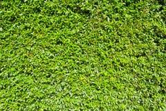 Zielony liść ściany tło Fotografia Stock