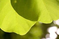 zielony liść zdjęcie stock
