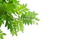 zielony liść Fotografia Stock