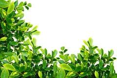 zielony liść Fotografia Royalty Free