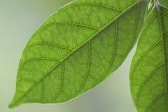 zielony liść Obrazy Stock