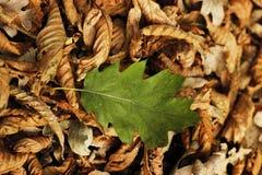 zielony liść Obraz Royalty Free