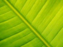 zielony liść banana Obraz Royalty Free