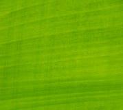 zielony liść banana Zdjęcia Royalty Free