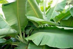 zielony liść banana Fotografia Royalty Free