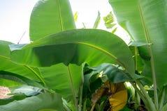 zielony liść banana Obraz Stock