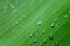 Zielony liść bananowa palma z kroplami woda po deszczu Fotografia Stock