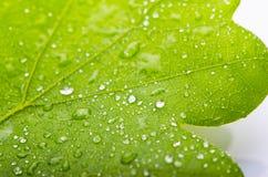 Zielony liść dąb z rosą Fotografia Royalty Free