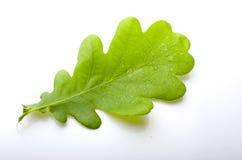 Zielony liść dąb z rosą Zdjęcia Royalty Free