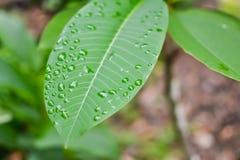 Zielony liść dla z tłem Obrazy Stock