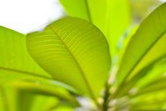 Zielony liść dla z tłem Obrazy Royalty Free