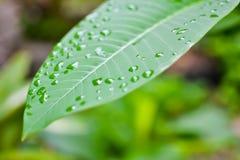 Zielony liść dla z tłem w ogródzie Obrazy Royalty Free