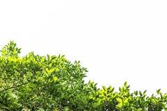 Zielony liść, gałąź i liść rama na białym tle Zdjęcia Royalty Free