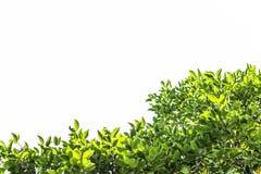 Zielony liść, gałąź i liść rama na białym tle, zielony drzewo Obrazy Stock