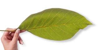 Zielony liść Grecka dokrętka w żeńskiej ręce odizolowywa na bielu Fotografia Royalty Free