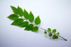 Zielony liść gwiazdowy agrest Obraz Royalty Free