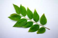 Zielony liść gwiazdowy agrest Obraz Stock