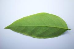 Zielony liść gwiazdowy agrest Zdjęcia Royalty Free