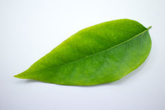Zielony liść gwiazdowy agrest Obrazy Royalty Free