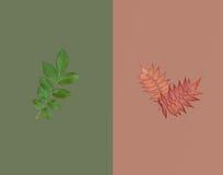Zielony liść i dwa czerwonego jesiennego liścia na ciemnozielonym na brown tle Jesieni sprzedaży pojęcie Zdjęcia Stock