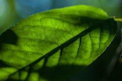Zielony liść jako tło Zdjęcie Stock