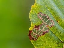 Zielony liść je rozmytym tłem i gąsienicą Fotografia Royalty Free