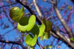 Zielony liść Judaszowy, Cercis siliquastrum zdjęcie stock