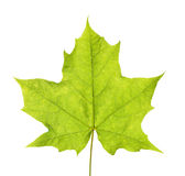 Zielony liść klonowy Fotografia Stock