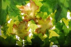 Zielony liść klonowy z słońcem fotografia stock