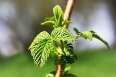 Zielony liść, kwitnący w wiośnie na gałąź porzeczkowy Bush obrazy royalty free