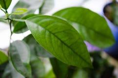 zielony liść mandarynka Mandarynów liście Mandaryn na okno fotografia royalty free