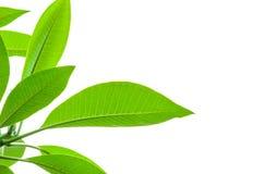 Zielony liść na białym tle. Zdjęcie Royalty Free