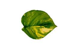 Zielony liść na bielu Zdjęcia Royalty Free