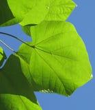 Zielony liść na bielu odizolowywającym na bielu Fotografia Royalty Free