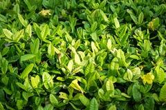 Zielony liść natury tecture i tło w parku Zdjęcie Royalty Free
