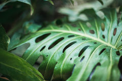 Zielony liść natury zwrotnik Fotografia Stock