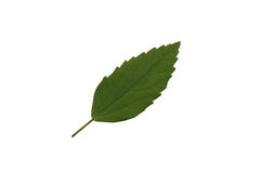 Zielony liść odizolowywa, tekstura zielony liść Fotografia Stock