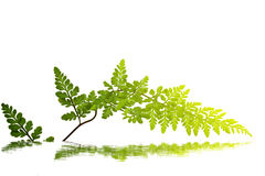 Zielony liść odizolowywający Zdjęcia Stock